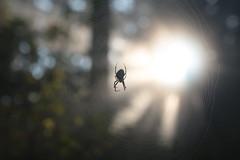Mount Tabor (Tony Pulokas) Tags: mounttabor mttabor mounttaborpark portland oregon tilt blur bokeh tree fog autumn fall spider web spiderweb orbweaver araneus sun