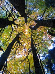 Look Up (CanMan90) Tags: fall colours trees trunks leaves sky university victoria britishcolumbia vancouverisland cans2s canon powershotsd1200is pointshoot workplace october 2018