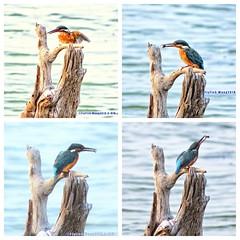 41970887KF4 Fishing4 (Flyfish1107*飛魚王*SX720HS/D3000) Tags: 橘胸翡翠翠鳥 kingfisher 永安濕地公園 bird 永安濕地東北季風過境鳥
