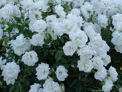 Cascade of Roses (Paula Luckhurst) Tags: whiteroses whiteflowers roses flowers petals plants gardens greenleaves green white colours nature outdoor gardenofsantabarbara braga portugal europe
