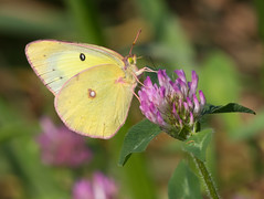 Sulfur Butterfly and Clover (vischerferry) Tags: sulfur clover wildflower insect