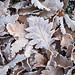 IMG_8076 - Oak leaves in frost