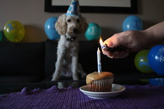 IMG_0988 (marinatensek2001) Tags: candle light birthday dog first one cockapoo cupcake pet animal