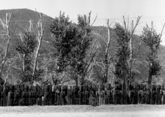 Railroad Tie Fence (HFF) (squirtiesdad) Tags: cottonwood trees fence roadside route 66 mother road blue cut devore railroad ties wires mountain diyfilmscanning selfdeveloped kodak duex epson v600 blackandwhite bw monochrome analog analogue arista aristaedu iso100 120 film 620