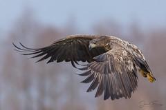 White-tailed Eagle (Mr F1) Tags: wild whitetailedeagle wte poland inflight bif birdsinflight nature outdoors wildlife bird wingsspan dof europe winter cold detail