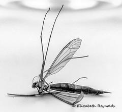 Day 273. (lizzieisdizzy) Tags: blackandwhite blackwhite black whiteandblack white whiteblack monochrome mono monotone monochromatic chromatic insect fly bug deceased dead torso body legs abdomen wing wings antenae pincers hexapodinvertebrates exoskeletal compoundeyes