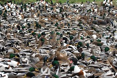 Seething mass of ducks (Lancs & Lakes Outback Adventure Wildlife Safaris) Tags: nikon d7200 tamron 600mm martinmere wildfowlandwetlandstrust wwt ducks feedingfrenzy mallard shelduck coot pintail wigeon feedingtime