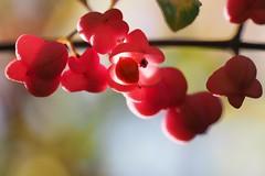 Pfaffenhütchen (michaelmueller410) Tags: spindle europeanspindle commonspindle bush busch strauch shrub blüte frucht beere berry fruit poison giftig gegenlicht frontlight closeup nahaufnahme pink rosa wald forest woods