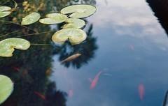 Pesci tra le nuvole (michele.palombi) Tags: fish clouds reflexes analogic shot film 35mm colortec c41 negativo colore florence