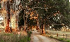 Rural chicanes (austr07) Tags: d800 adelaidehills gumtrees southaustralia sunrise hayvalley rural road windy chicane oakbank