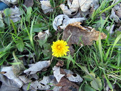 November Dandelion (genesee_metcalfs) Tags: fall autumn november homestead dandelion