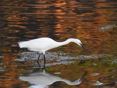 Aigrette garzette (chriscrst photo66) Tags: bird animal oiseau aigrette garzette pêche reflet coucher de soleil marée basse ploumanach bretagne nikoncoolpixp900