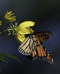 MonarchButterfly_SAF6885 (sara97) Tags: danausplexippus butterfly copyright©2018saraannefinke endangered missouri monarch monarchbutterfly nature photobysaraannefinke pollinator saintlouis towergrovepark