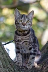 Lola the Kitten (Ron van Zeeland) Tags: poes rotterdam pets huisdieren katten pussycat kitten oak eik poezen lola cat tree wood bengal animal hetpark park