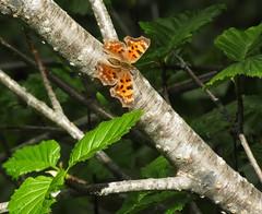 Question Mark (Polygonia interrogationis) (al-ien) Tags: questionmarkpolygoniainterrogationis butterfly washington mtrainiernationalpark