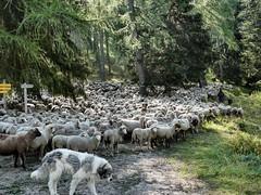 Sur le chemin d'Abel (François Magne) Tags: berger bergère brebis troupeau estive alpage pastoraloup transhumance scene pastorale fz 300 lumix loup couchade
