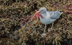 Herring Gull with Starfish (haroldmoses) Tags: 2y3a89781 gulls starfish honningsvag norway