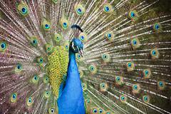 Peacock (syl20_44) Tags: paon peacock nantes loire atlantique france parc gaudinière canon 70d sylvain p syl20 44 bird
