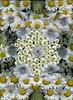 59210.01 Leucanthemum vulgare, Allium, Hosta, Malva moschata, Aegopodium podograria 'Variegatum', Tanacetum parthenium 'Plenum', Lychnis, Anemone canadensis (horticultural art) Tags: horticulturalart leucanthemumvulgare leucanthemum daisy daisies allium onion hosta malvamoschata malva mallow aegopodiumpodograriavariegatum aegopodiumpodograria aegopodium bishopsweed snowonthemountain goutweed tanacetumpartheniumplenum tanacetum tansy lychnis anemonecanadensis anemone canadiananemone flowers design