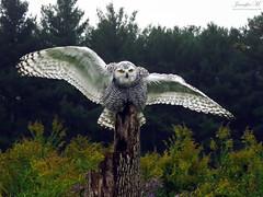 Robert Snowy Owl CRC IMG_5528 (Jennz World) Tags: ©jennifermlivick canadianraptorconservancy vittoria ontario canada raptors raptor bird snowyowl owl