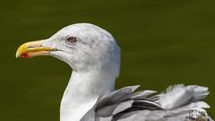 California Gull (Larus californicus) (Don Dunning) Tags: animals birds california californiagull canon7dmarkii canonef100400mmisiiusm goldengatepark gulls laruscalifornicus sanfrancisco stowlake unitedstates