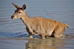 Bambi (R.D. Gallardo) Tags: bambi animal ciervo vitoria canon eos 6d eos6d salburua agua water sigma 150500 wild life