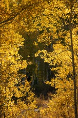 Framed in Gold (The Good Brat) Tags: colorado us aspen trees gold golden morning sunny nature remote wilderness whiterivernationalwildlifearea
