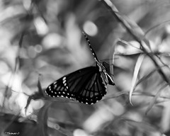 What's His Story? (that_damn_duck) Tags: nikon blackwhite monochrome insect butterfly wings nature bw blackandwhite