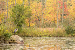 Heron's Perch (Ryan Jeske) Tags: bird canon canon80d canonef100400mmf4556lisiiusm cornelllabofornithology fall heron telephoto wildlife