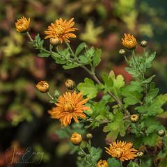 Chrysanthemum (Jamarem) Tags: chrysanthemum autumn flower flora square orange