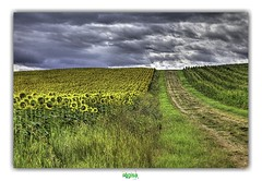 HOPE THIS IS A NEW DAY NOW (régisa) Tags: lagrangefort auvergne tournesol sunflower lespradeaux puydedôme theinnocencemission