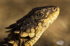 Smaug giganteus (Imelus Umwabe) Tags: south africa reptile lizard snake sungazer blackmamba mamba herpetology herping fieldherping smaug dendroaspis canon5dmkiii canon wildlife twinflash imelusumwabe animal