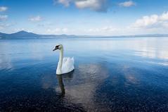 (stefano ciccocioppo) Tags: lago bracciano natura animali cigno cielo nuvole tranquillità calma