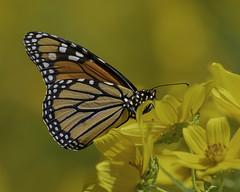 MonarchButterfly_SAF9834 (sara97) Tags: danausplexippus butterfly copyright©2018saraannefinke insect missouri monarch monarchbutterfly nature photobysaraannefinke pollinator saintlouis towergrovepark urbanpark