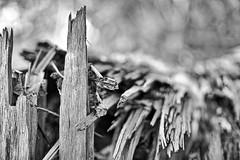 Broken (2) (Phancurio) Tags: tree woods closeup monochrome