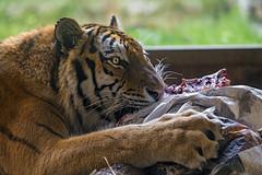 Viktor and meat (Tambako the Jaguar) Tags: tiger big wild cat siberian amur male eating meat food bone lying portrait profile cave paws close walter zoo gossau switzerland nikon d5