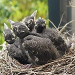 Currawong chicks first steps thumbnail