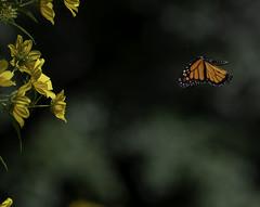 MonarchButterfly_SAF6904 (sara97) Tags: danausplexippus butterfly copyright©2018saraannefinke endangered missouri monarch monarchbutterfly nature photobysaraannefinke pollinator saintlouis towergrovepark flight inflight