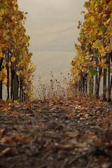 Entre deux rangs (Gisou68Fr) Tags: sortiellva20102018 llva sortie vignoble vineyard alsace 68 hautrhin grandest