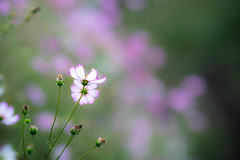 truth (hitohira_) Tags: flower flowers nature bokeh cosmos