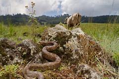 Crotalus ravus (Matthieu Berroneau) Tags: trip mexique sony alpha macro nature france herpéto wildlife animal animaux ff 24x36 full frame a7ii 7ii 7mk2 sonyilce7m2 herping herpeto reptile reptilian reptilia serpent serpente snake serpentes snakes serpiente field herp venomous poisonous serpents sonya7ii sonya7mk2 sonyalpha7mark2 sonyalpha7ii crotalus ravus crotalusravus cascabel pigmea mexicana cascabelpigmeamexicana cascabeldenueveplacas viboritadecascabel colcoatl sistrurus mexicanpigmyrattlesnake mexicanpygmyrattlesnake crotale pygmé crotalepygmé mexico vache vaca cow