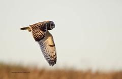 Return of the Shortie! (Alan McCluskie) Tags: owls shortearedowl asioflammeus birdofprey owlinflight predator birds seo oiseaux aves canon7dmk2 sigma150600mmsp