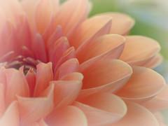 (Kaska Ppp) Tags: macro macrophotography macromonday macromondays flower flowers flora flowersphotography fleur floral autumn orange red