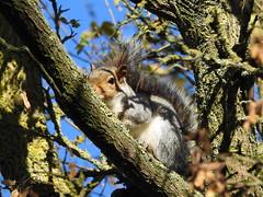 Squirrel trying to hide DSCN2848 (ianpreston) Tags: 2018 squirrel willington derbyshirewildlifetrust