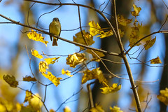 Phoebe of the East (curious_spider) Tags: easternphoebe bird songbird flycatcher autumn fall leaves