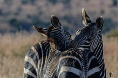 True love.     Mountain Zebra NP South Africa (SuzieAndJim) Tags: africa southafrica nationalpark zebra mountainzebra suzieandjim
