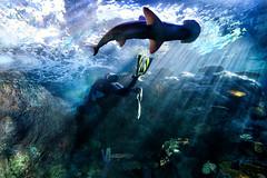 """Encounter"" (helmet13) Tags: d800e raw aquariumofthepacific aquarium fauna hammerheadshark sphyrnidae fish diver encounter coral aoi peaceaward world100f"