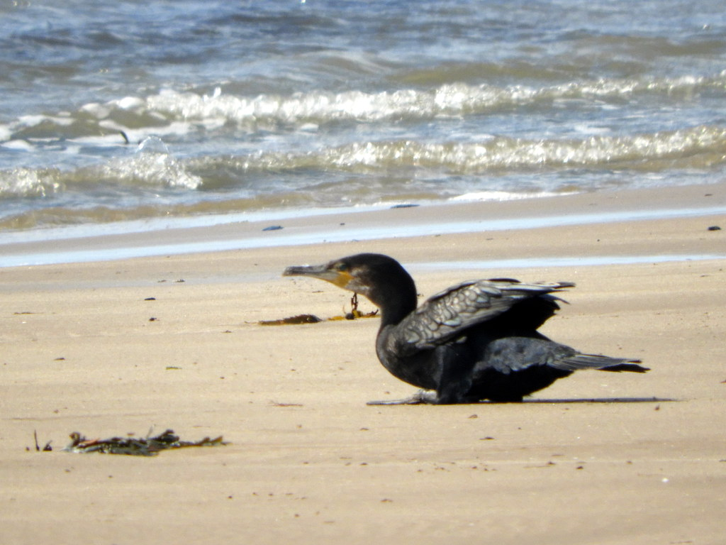 Cormorant on Sandy Gap Beach