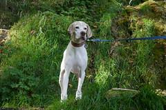Bad Urach Wasserfall (mireiatarres) Tags: perro dog bosque green animal campo braquedusaintgermain hund wald