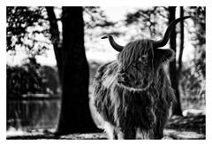 Highland Cow (J.v.V.) Tags: highlandcow highland cow horns schotish cattle blackwhite black white jvv sonya7iii sonyfe85mmf18
